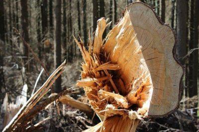 umgestuerzter Baum im Wald